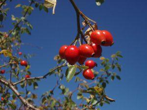 escaramujo-fruto-rosa-canina-vitamina-c-polifenoles-antioxidantes