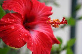 hibiscus flor